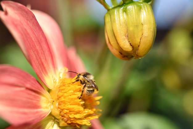 Bumblebee eats pollen on a yellow flower