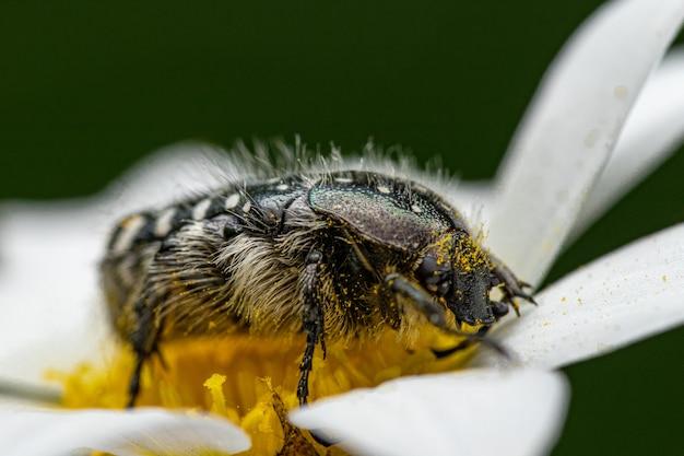 데이지 꽃에 꿀을 먹고 있는 땅벌