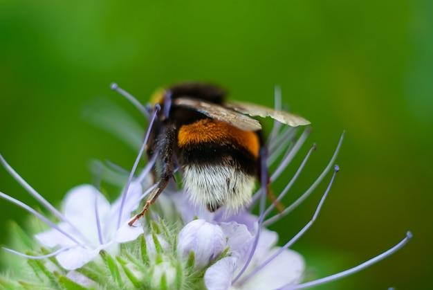 マルハナバチがファセリアの花に蜜を集める。