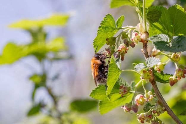 開花スグリの花にぶら下がって花粉を集めるバンブルビー