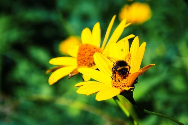 Шмель на желтом цветке. летняя концепция