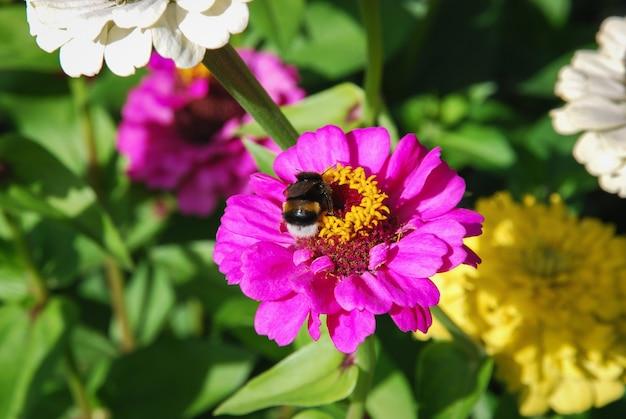 여름 정원에서 백 일초 선 충 꽃에 꿀벌