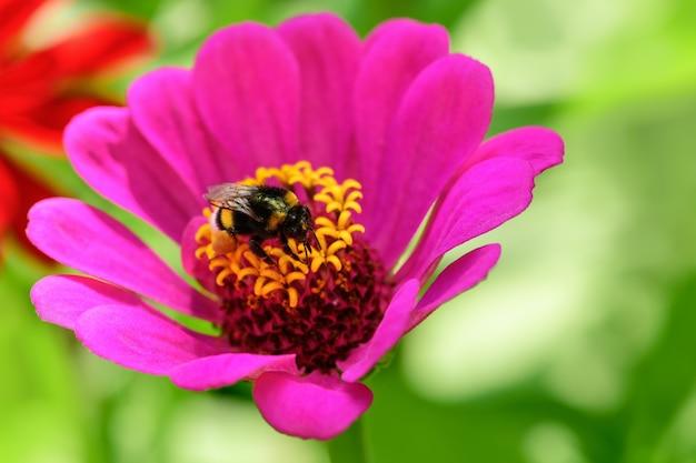 호박벌. 하나의 큰 꿀벌은 햇살 밝은 날에 분홍색 꽃에 앉아 있습니다.
