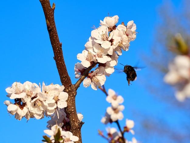 Шмель или пчела на фоне голубого неба в белых розовых цветах и ветвях вишневого дерева