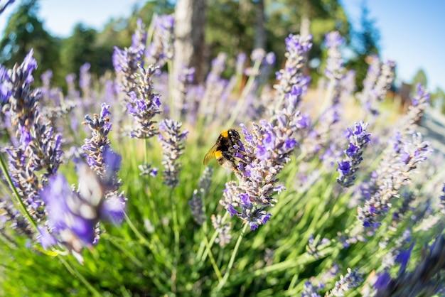 Шмель сидит на цветке лаванды Premium Фотографии