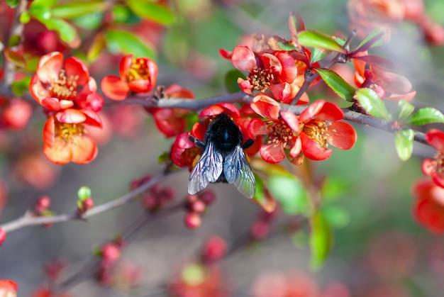 Шмель опыляет цветущий айвовый куст