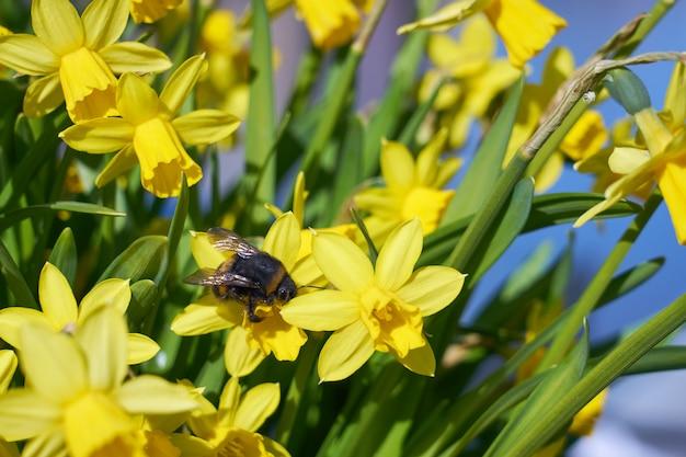 Шмель опыляет желтый нарцисс на открытом воздухе в парке.