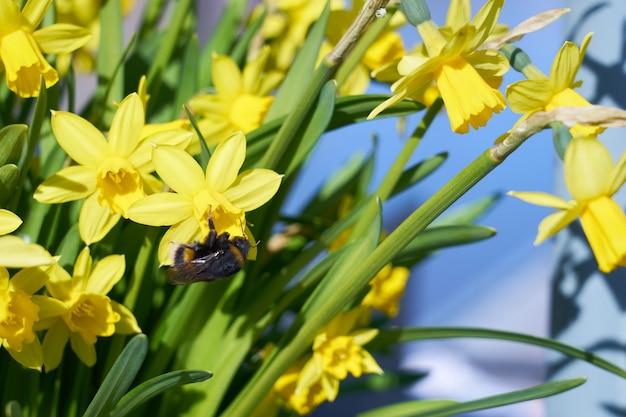 マルハナバチは公園の屋外で黄色い水仙に花を咲かせます。