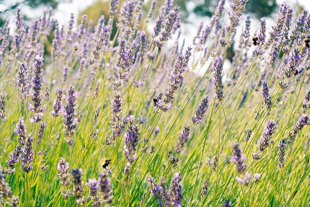 Шмели собирают пыльцу с цветущих цветов лаванды