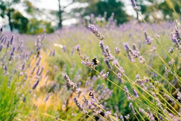 땅벌은 라벤더의 꽃에서 꽃가루를 수집합니다.