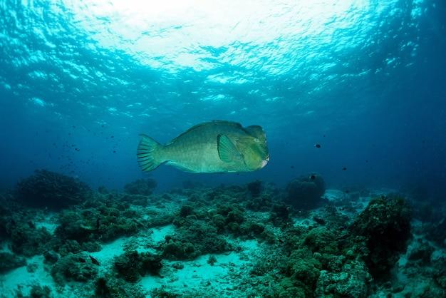 Bump-head parrot fish swimming in shallow water in sipadan in malaysia