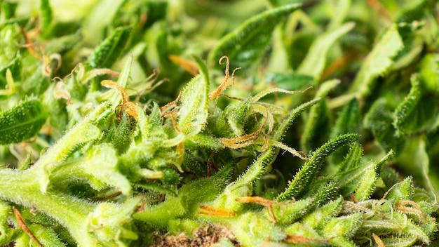 의료 및 통증 완화 마리화나 식물 매크로의 범프