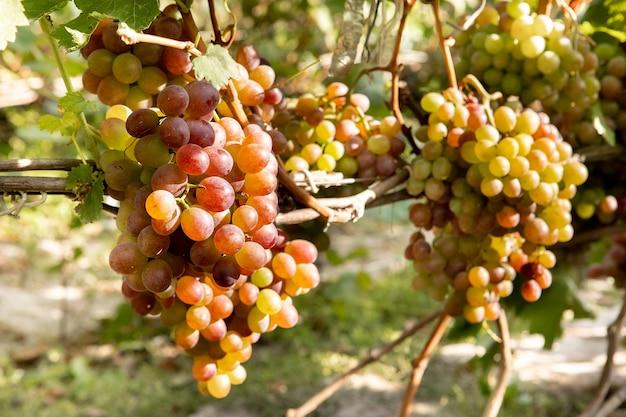 Bunch of backlit merlot grapes ripening on vine in organic vineyard