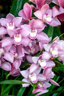 Bunch of blooming phalenopsis orchid pink flowers in greenhouse