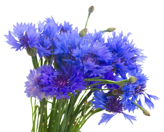 Bunch of blue cornflowers isolated