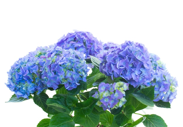 Bunch  of blue hortensia flowers isolated on white space