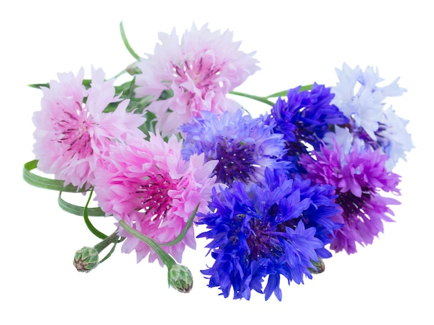 Bunch of blue  and pink cornflowers isolated