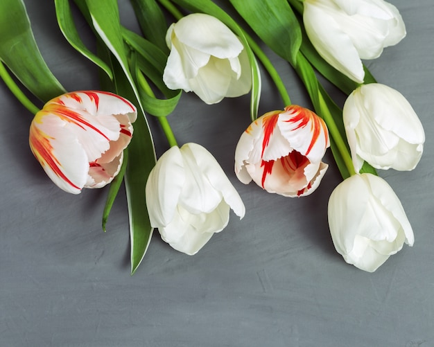 Bunch of bright  blooming tulips white and red colored. spring flowers on gray concrete background with copy space.