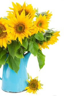Bunch of bright sunflowers in blue pot close up isolated on white