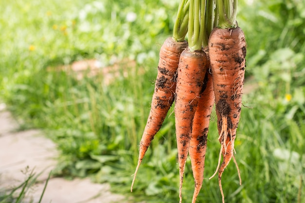Bunch of carrots with green soft surface