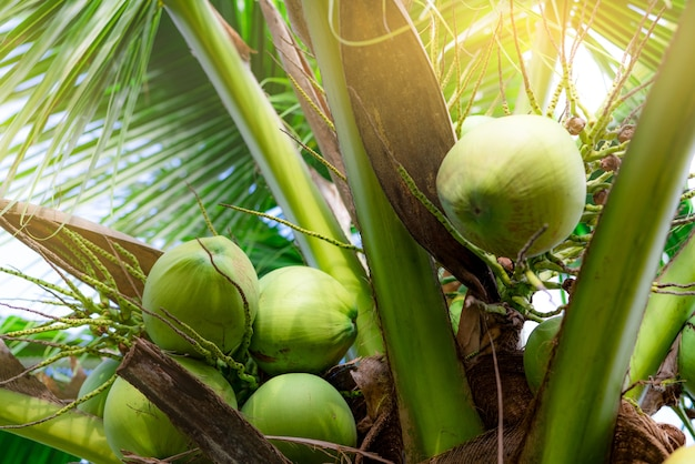 Bunch of coconut on coconut tree. tropical fruit. palm tree with green leaves and fruit. coconut tree in thailand. coconut plantation. agriculture farm. organic drink for summer. exotic plant.