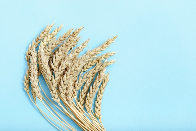Bunch of compressed stems with ears golden wheat on blue paper background