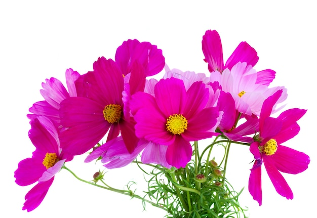 Bunch of cosmos pink flowers isolated on white