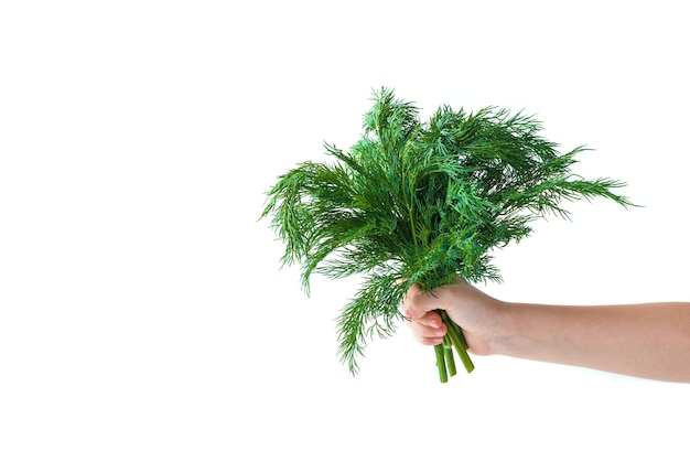 A bunch of dill in the child's hand on a white background. side view with copy space.
