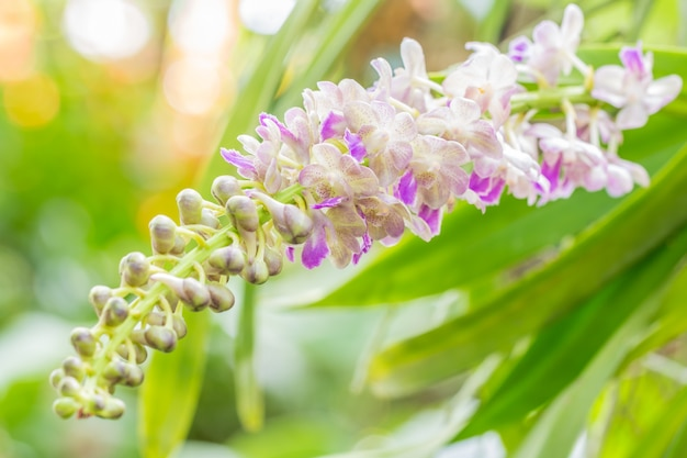 Bunch of fragrant orchids, aerides falcata lindl.