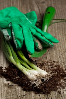 Bunch of fresh green onions with garden tools