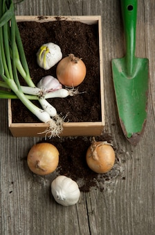 Bunch of fresh green onions with garlic and garden spade