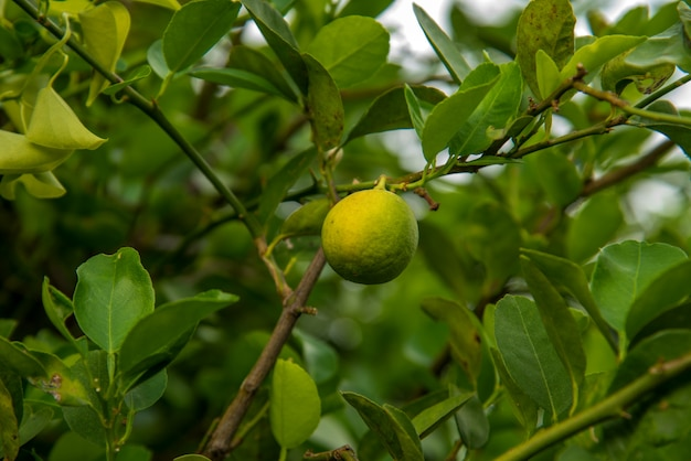 Bunch of fresh lemons on a lemon tree branch in farm field