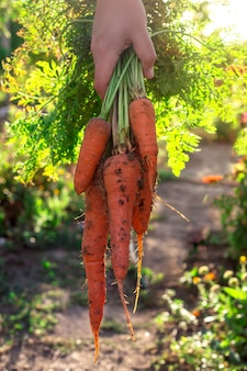 A bunch of fresh orange carrots with soil in a female hand