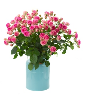 Bunch of fresh pink roses in blue pot isolated on white space
