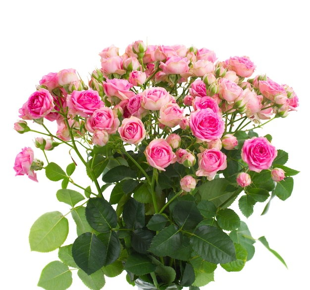Bunch  of fresh pink roses close up isolated on white space
