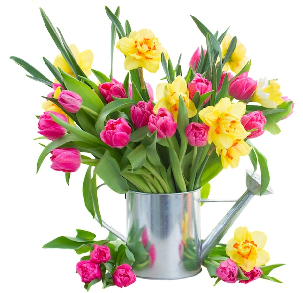 Bunch  of fresh pink tulip flowers and yellow daffodils in watering can isolated on white background