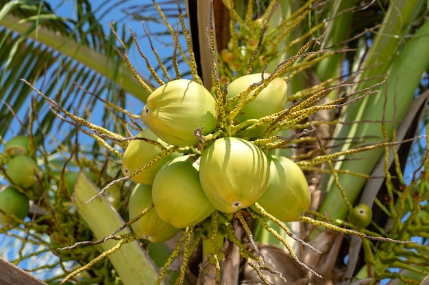 Bunch of fresh young coconuts on green palm tree in thailand, close up