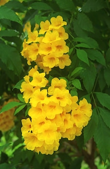Bunch of gorgeous full bloom yellow bell flower on the tree
