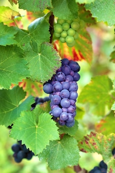 Bunch of grapes growing in a vineyard