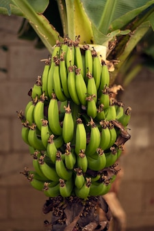 A bunch of green bananas on the side of a banana tree
