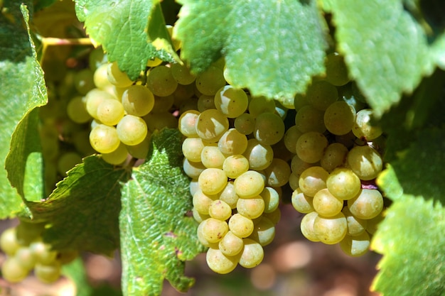 Bunch of green grapes in a vineyard
