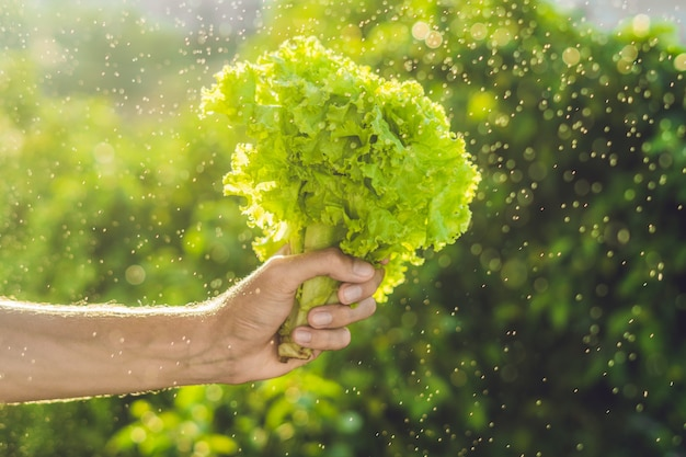 Bunch of lettuce in a hand of a man with a splashes of water in air.