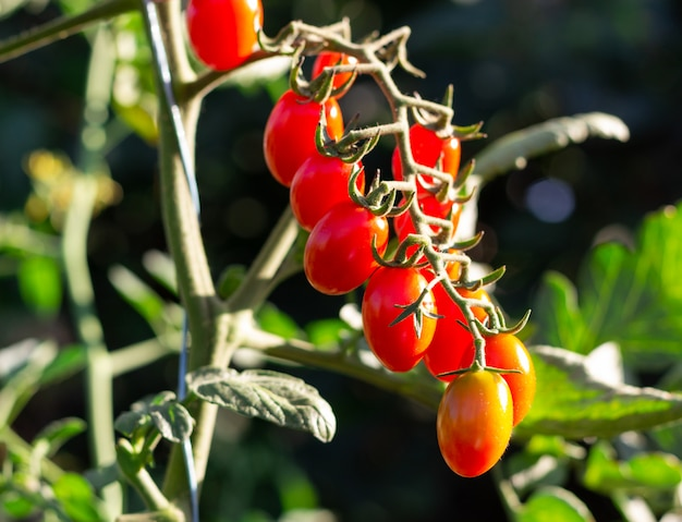 Bunch of little tomatoes on green bush