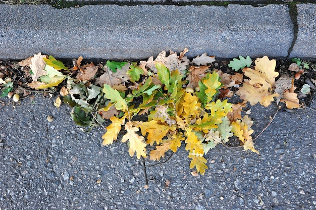 A bunch of oak leaves and acorns near the curb on the road