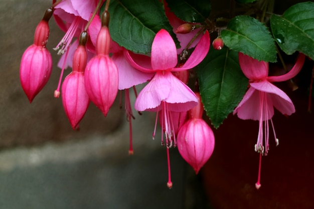 Букет красивых ярких розовых цветущих цветов фуксии, куско, перу