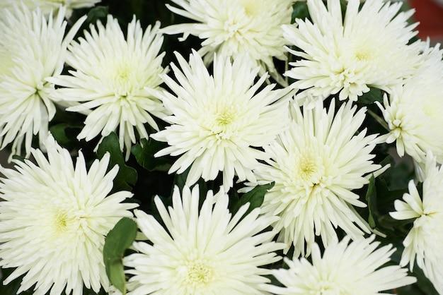 美しい白い菊の束