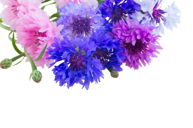파란색과 분홍색 cornflowers의 무리는 격리 닫습니다