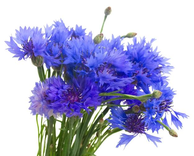고립 된 블루 cornflowers의 무리