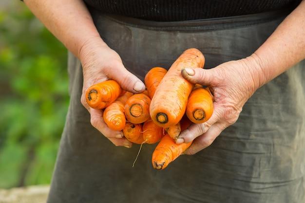 老婦人の手で家庭菜園から引っ張られたにんじんの束