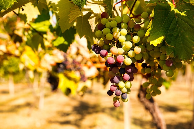 夏の日にイタリアのブドウ園にぶら下がっている色のブドウの束